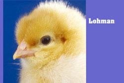 Lohmann – pisklęta